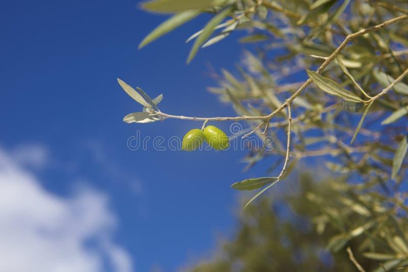 Aceitunas en crete, Grecia imagen de archivo