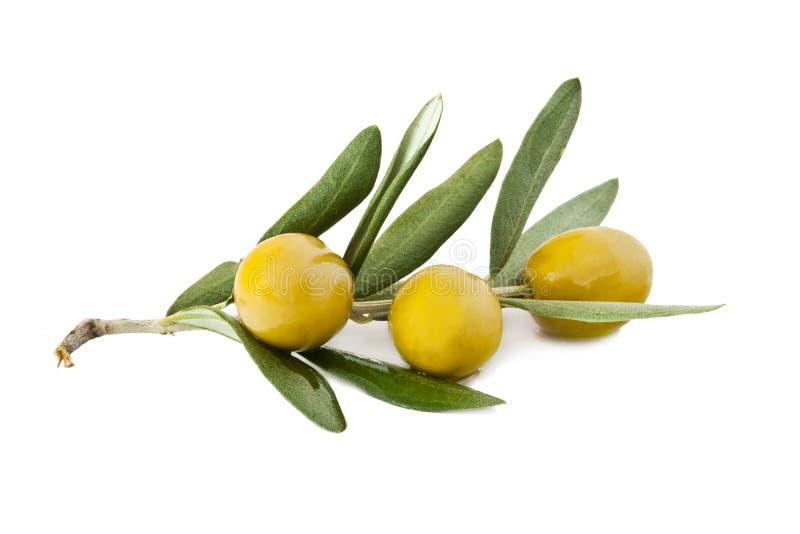 Aceitunas en la rama de olivo imagen de archivo libre de regalías