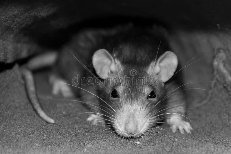Acento inteligente ingenioso de la mirada de la rata gris en la cabeza con los bigotes largos y los ojos sombríos en el ajuste gr fotografía de archivo