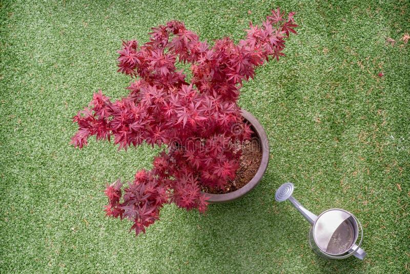 Acer在一个综合性草大阳台的palmatum树 库存照片