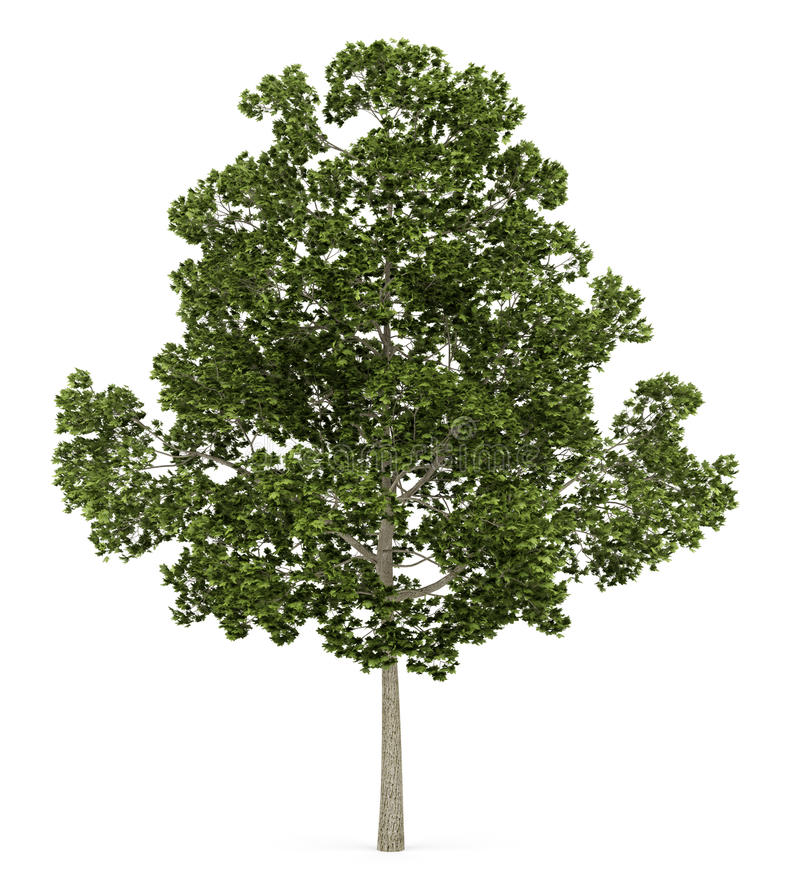 Acer在白色隔绝的platanoides树 库存例证