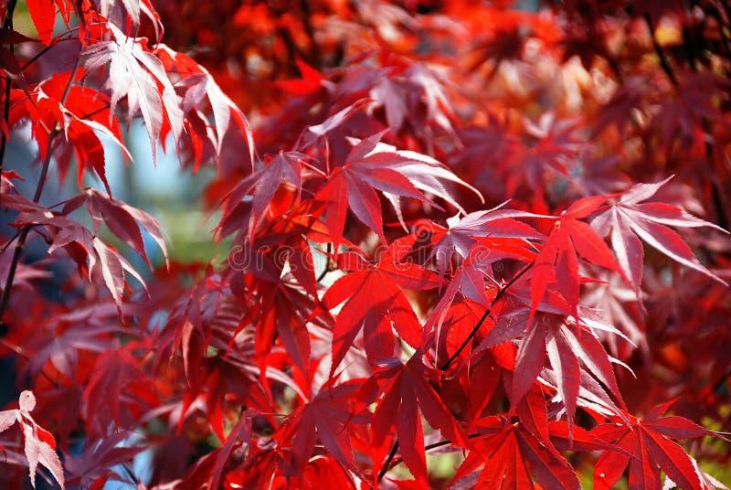 acer ιαπωνικό κόκκινο σφενδάμ&nu στοκ φωτογραφίες