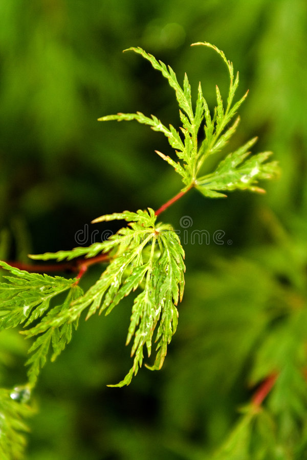 Acer Stock Images