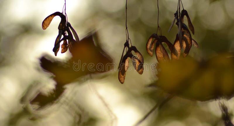 Acer στοκ φωτογραφίες