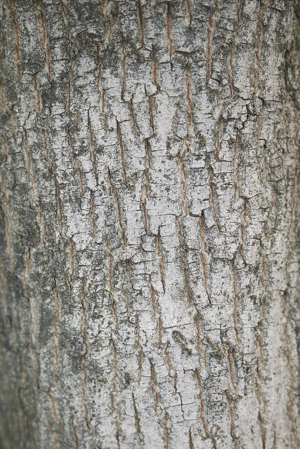 Acer-campestre Barke lizenzfreies stockbild