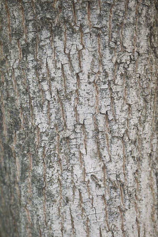 Acer campestre barkentyna obraz royalty free