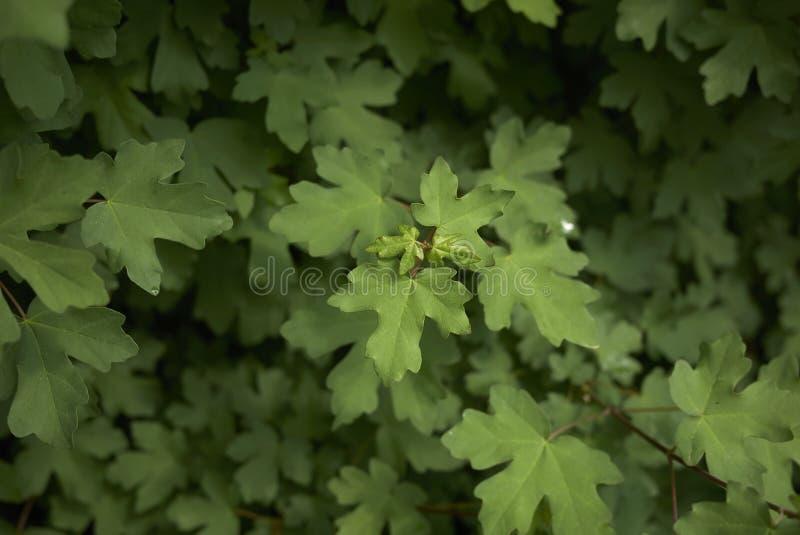 Acer-campestre Baum lizenzfreie stockfotos