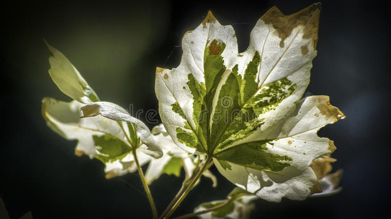Acer campestre stock photo