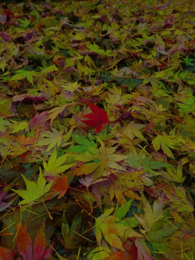 Acer lässt tiefe Herbstfarben stockfoto
