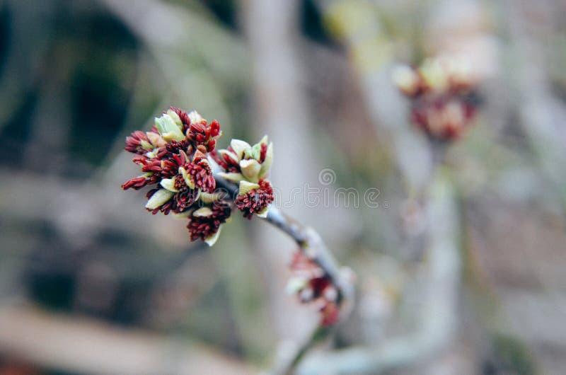 Acer-negundo Kastenältester, boxelder Ahorn, Asche-leaved Ahornblume, die im Vorfrühling blüht lizenzfreies stockbild