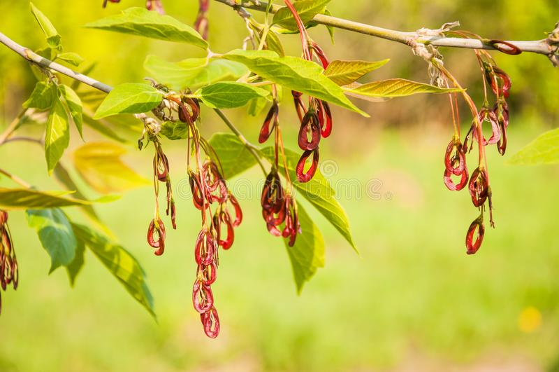 Acer-negundo oder Ahornasche im Frühjahr stockbilder