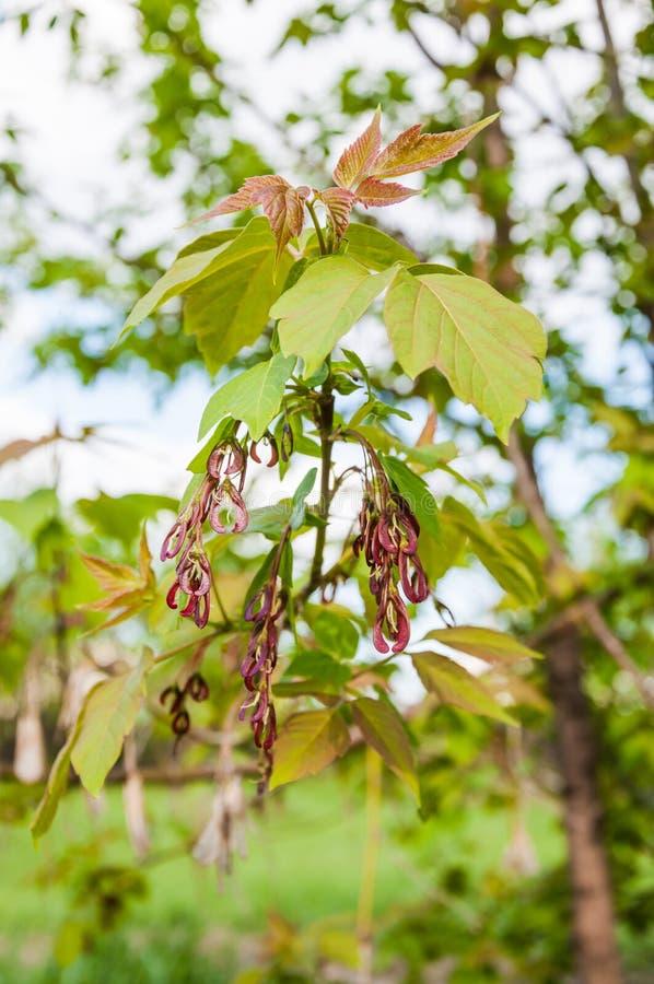 Acer-negundo oder Ahornasche im Frühjahr stockfotografie