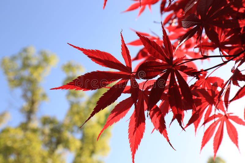 Acer palmatum(Acer palmatum Thunb.). Acer palmatum is a valuable ornamental native tree species in the garden. In landscaping stock photo