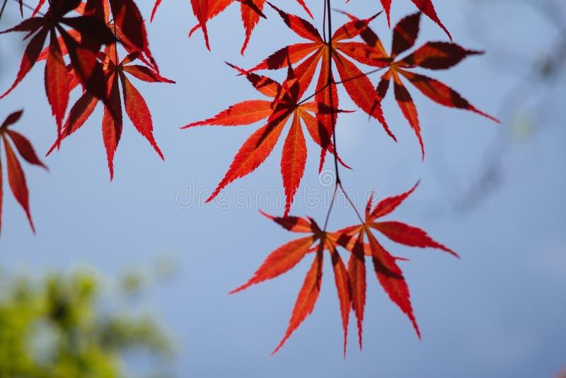 Acer-palmatum, algemeen als palmate esdoorn, Japanse esdoorn of vlotte Japans-Esdoorn wordt bekend, is species van bosrijke insta royalty-vrije stock fotografie