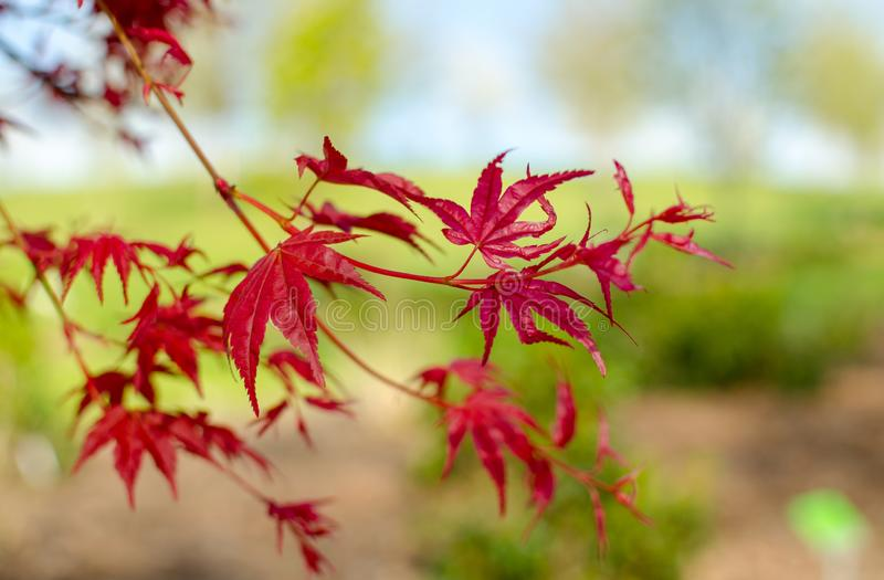 Acer palmatum `Beni-maico` branches. Close up. Acer palmatum `Beni-maico` branches. Close up stock images