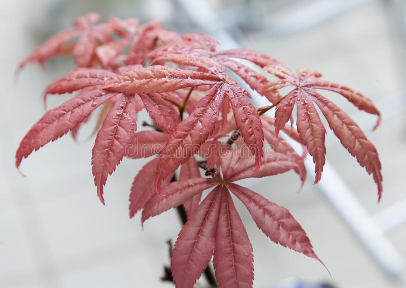 Acer-palmatum Blätter stockbild