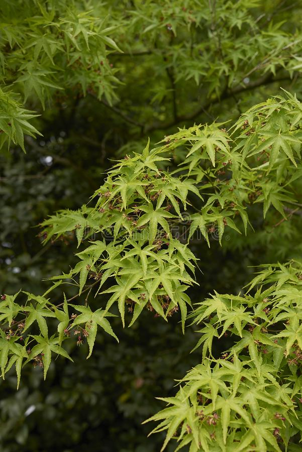 Acer palmatum in bloom. Fresh green foliage and flower of Acer palmatum tree stock image