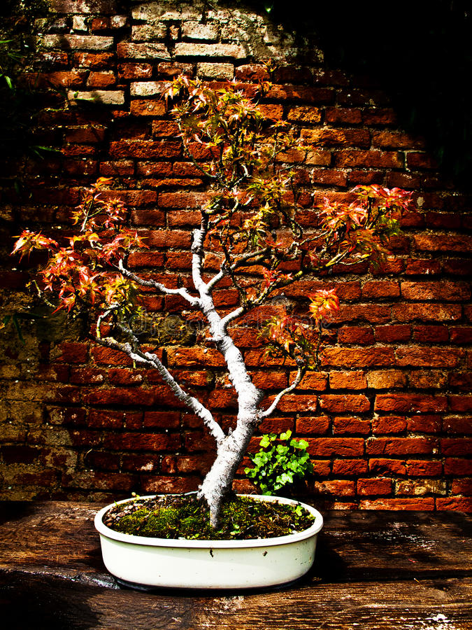 Acer palmatum bonsai. Japanese maple stock photos