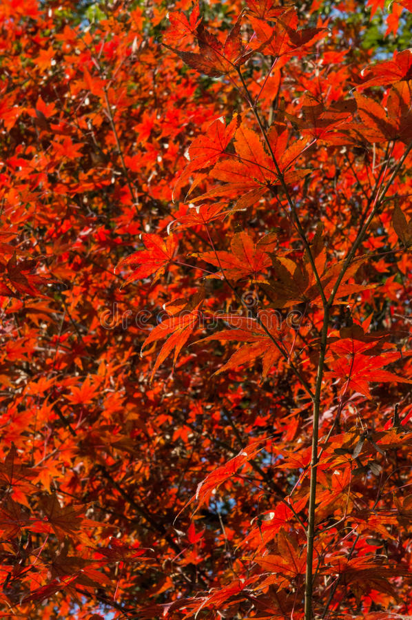 Acer palmatum. Bright red japanese red acer palmatum maple leaves natural background royalty free stock photography