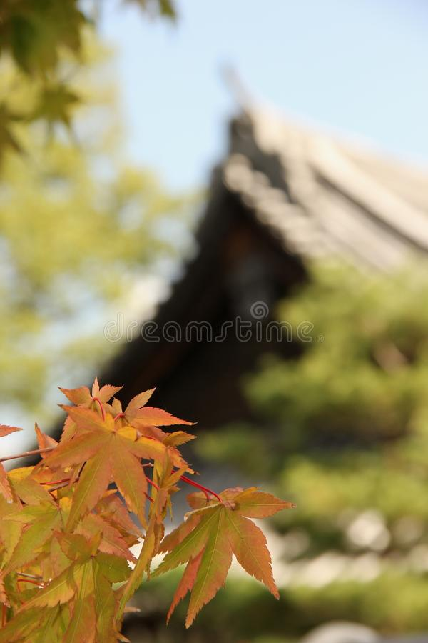 Acer palmatum. An Acer palmatum or Japanese Maple growing in a temple garden in Fukuoka, Japan royalty free stock images