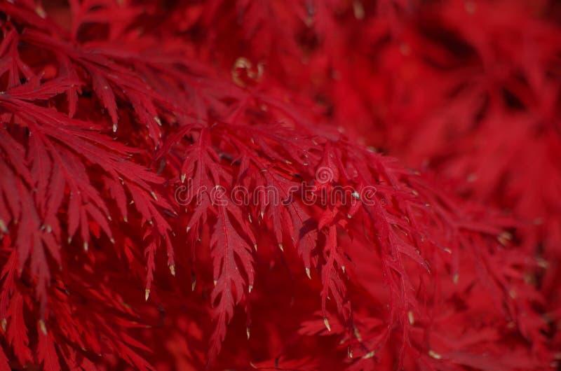 Acer Palmatum Leaves royalty free stock image