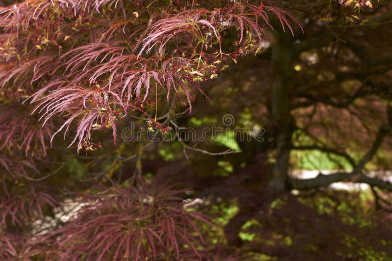 Acer palmatum plant. Red foliage of Acer palmatum plant stock photos