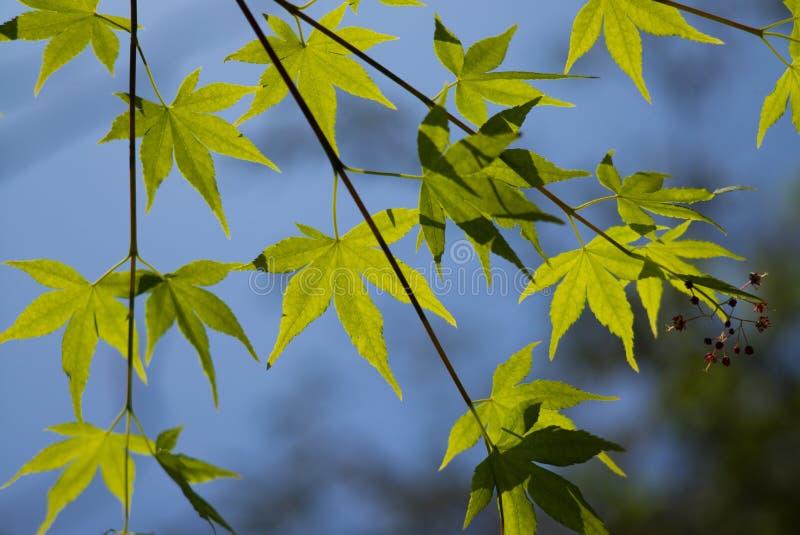 Acer palmatum, powszechnie zna? jako palmate klon, Japo?ski klon lub g?adki klon, zdjęcia stock