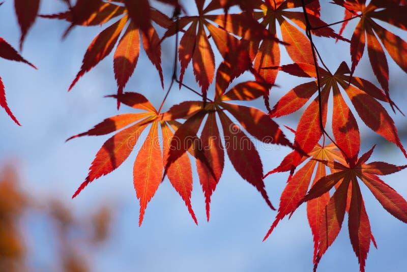 Acer palmatum, powszechnie zna? jako palmate klon, Japo?ski klon lub g?adki klon, zdjęcie stock