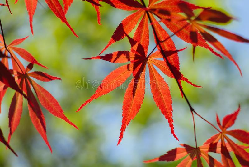 Acer palmatum, powszechnie zna? jako palmate klon, Japo?ski klon lub g?adki klon, fotografia stock