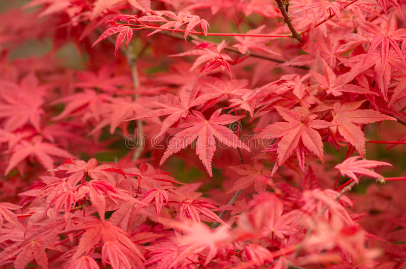 Acer palmatum. Red leafs of Acer palmatum creating nice background royalty free stock image