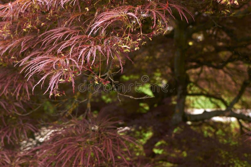 Acer palmatum roślina zdjęcia stock