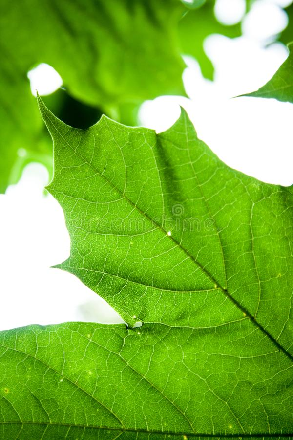 Acer platanoides. Growing in the forest leaf detail royalty free stock photography