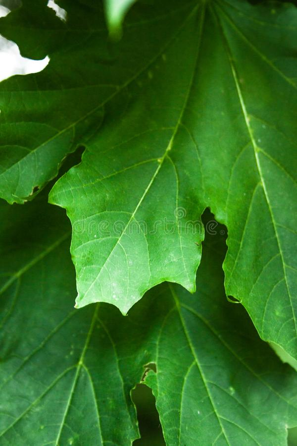 Acer platanoides. Growing in the forest leaf detail royalty free stock images