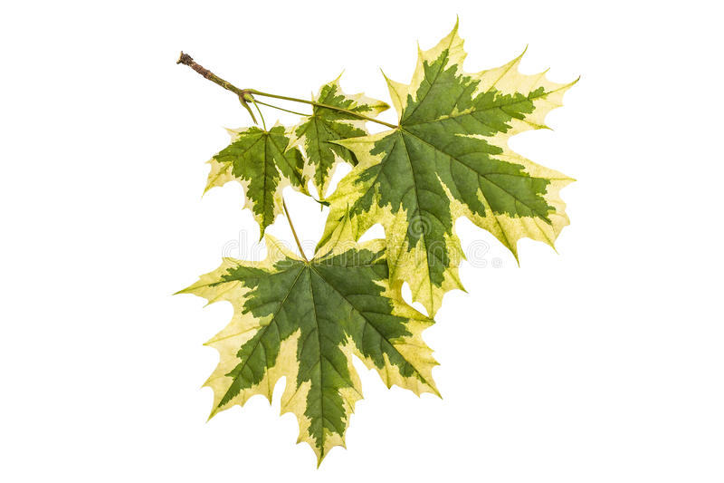 Acer platanoides Drummondii delle foglie di acero su un fondo bianco fotografia stock