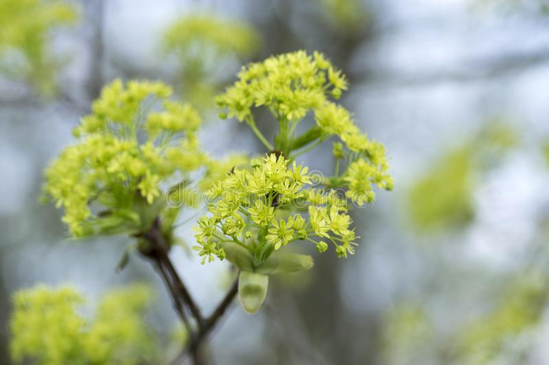 Acer platanoides flowering tree branches, bright yellow green flowers in bloom, springtime season. Macro detail view royalty free stock photo