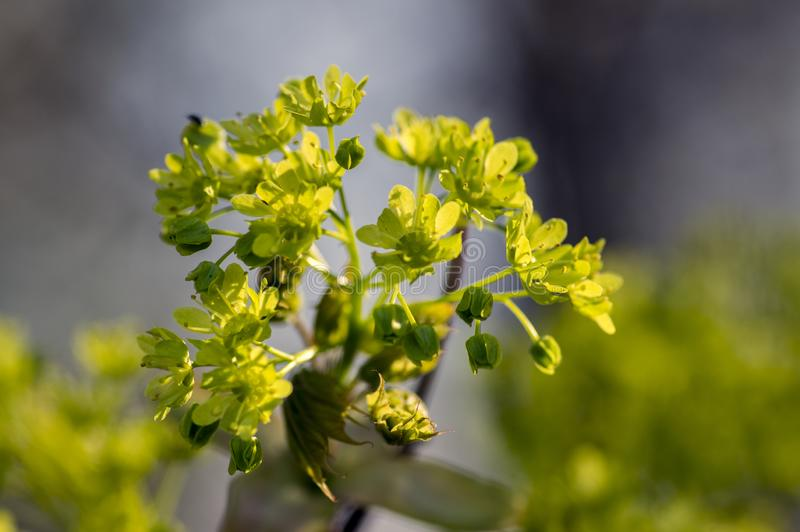 Acer platanoides flowering tree branches, bright yellow green flowers in bloom, springtime season. Macro detail view stock image