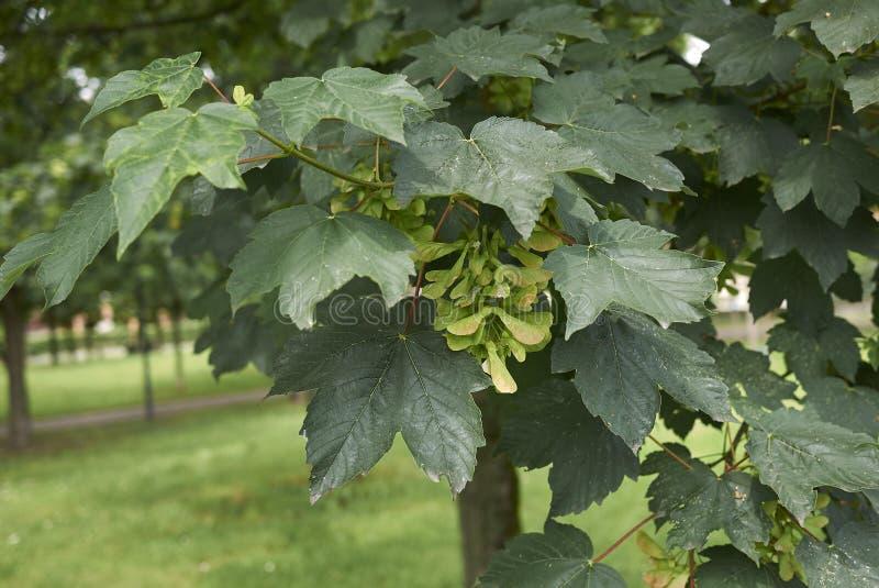 Acer platanoides tree close up. Fresh foliage and fruit of Acer platanoides tree stock image