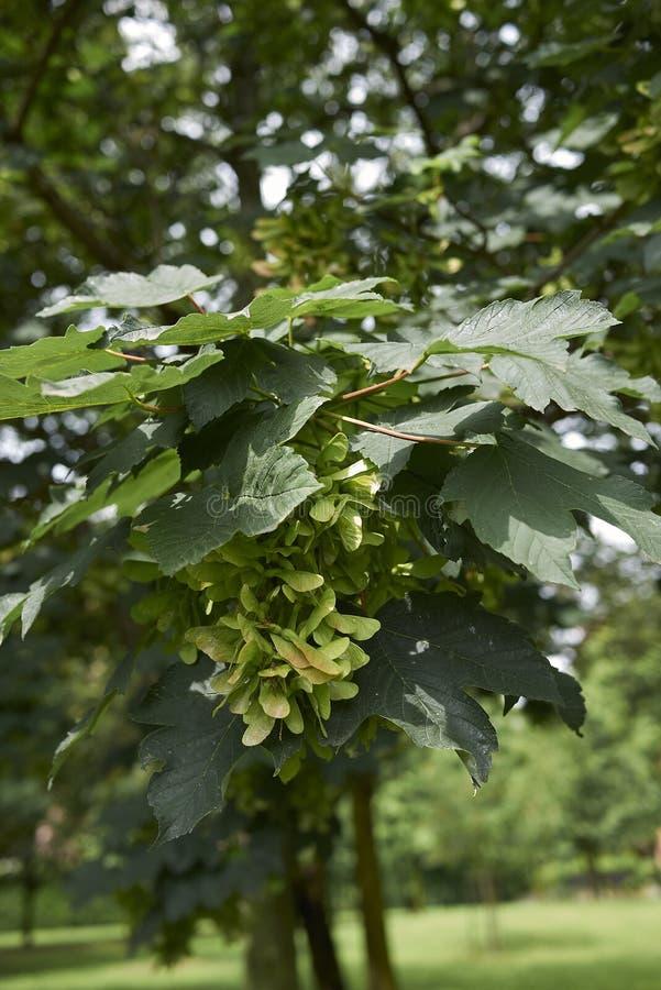 Acer platanoides tree close up. Fresh foliage and fruit of Acer platanoides tree royalty free stock photo