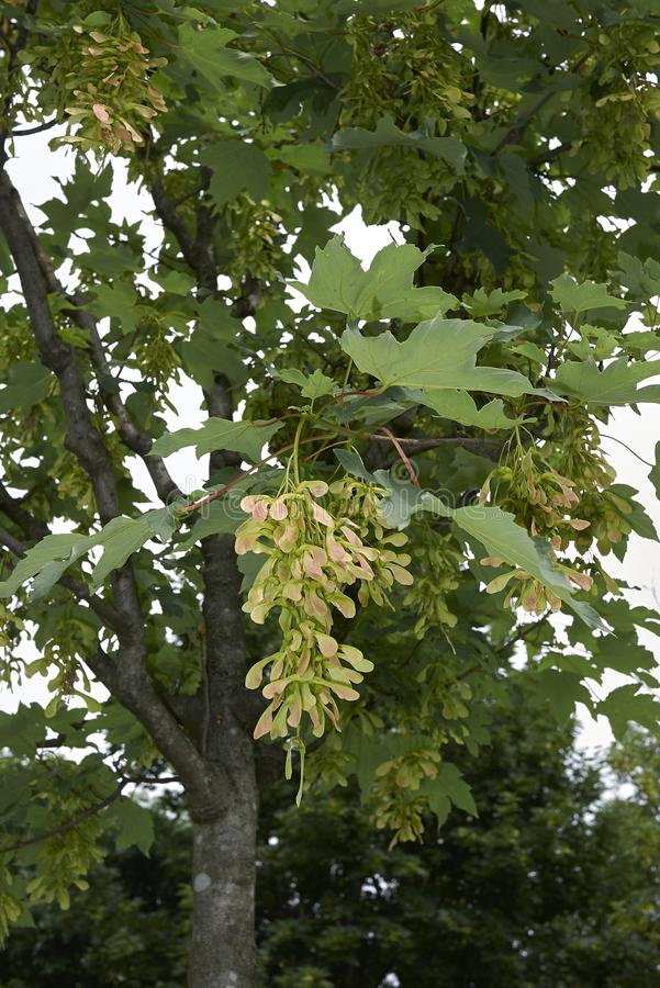 Acer platanoides tree close up. Fresh foliage and fruit of Acer platanoides tree stock photography