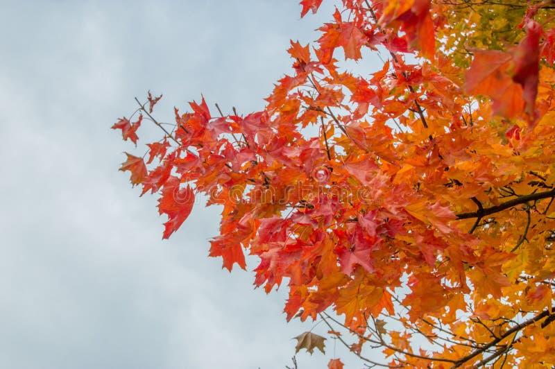 Acer platanoidesblad i höstfärg royaltyfri foto