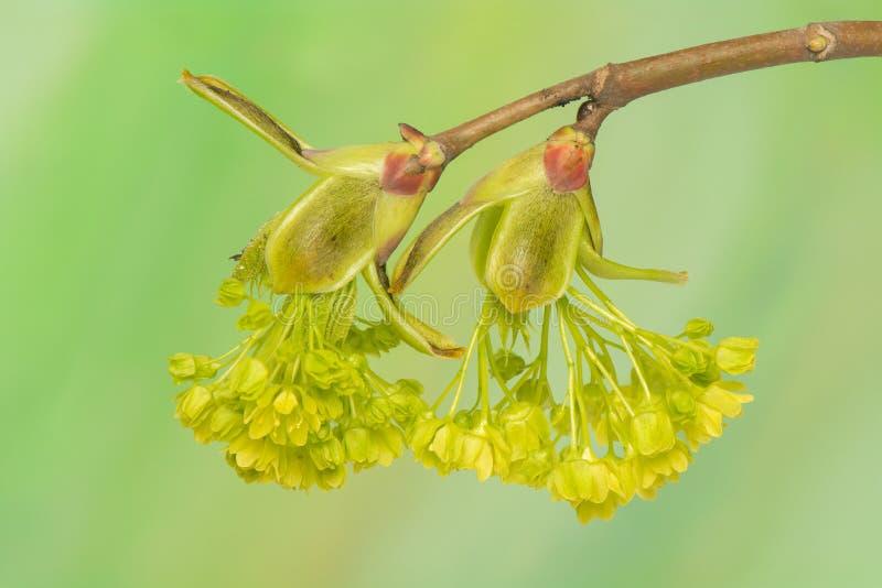 Acer pseudoplatanus obraz royalty free