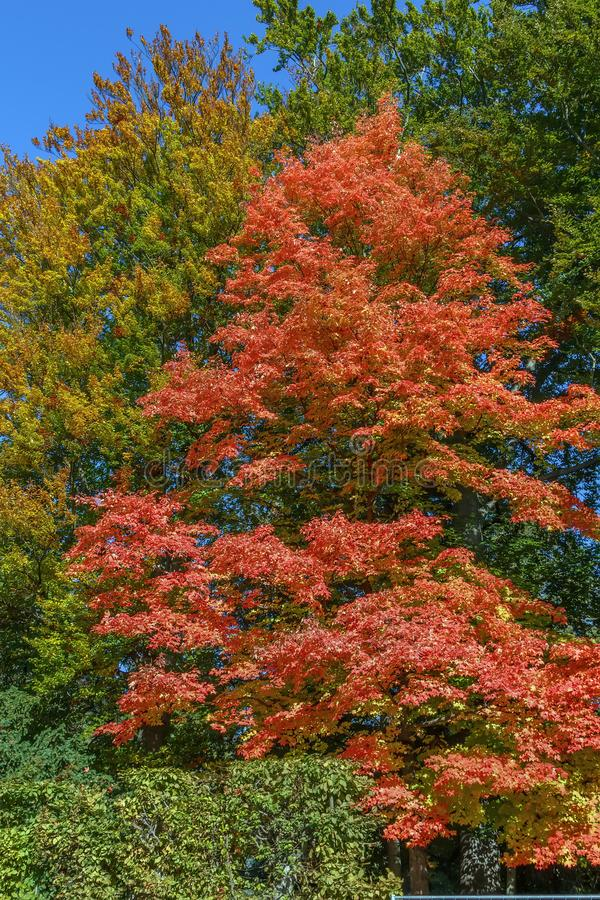 Acer rubrum in autunno fotografia stock