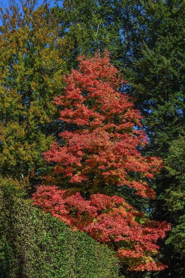 Acer-rubrum in de herfst stock fotografie