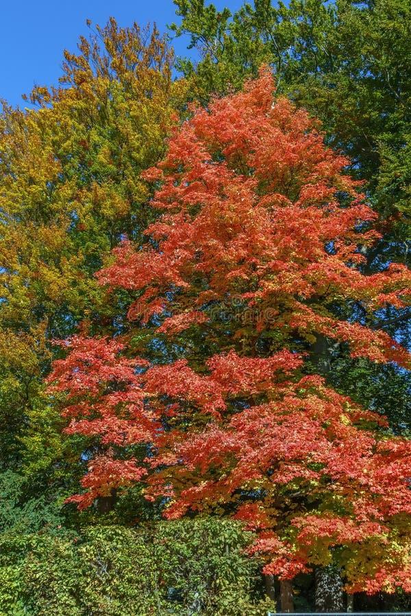 Acer-Rubrum im Herbst stockfoto
