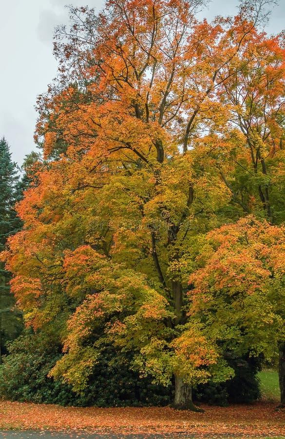 Acer-Rubrum im Herbst stockbild