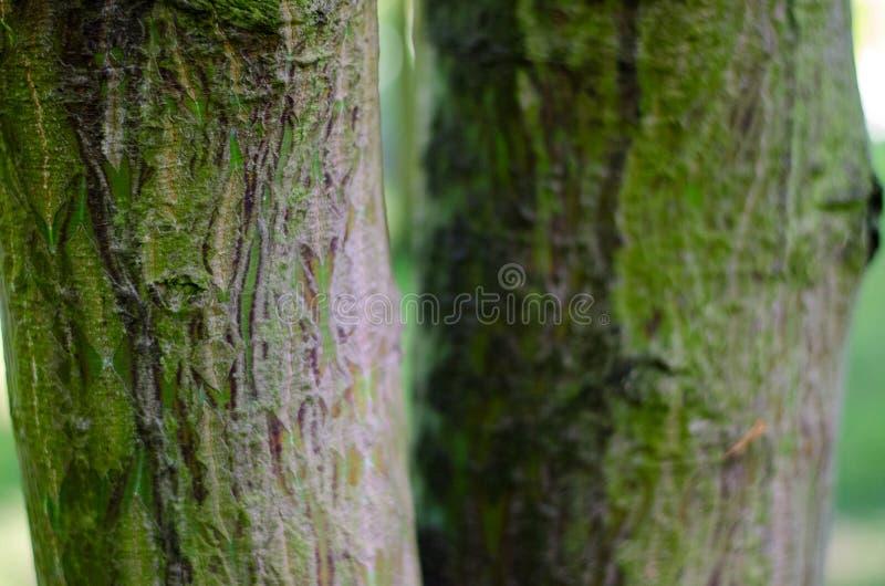 Acer-rufinerve Stamm Nahaufnahme botanischer Garten in Polen lizenzfreies stockbild