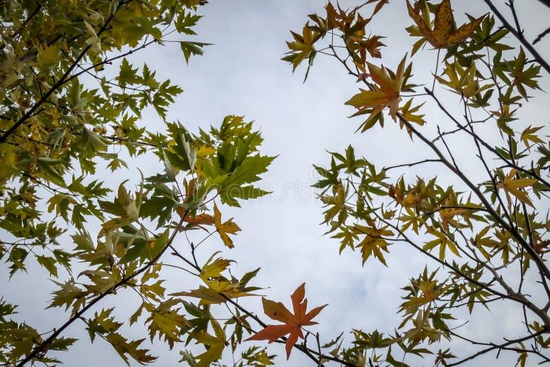 Acer saccharinum优美的绿色叶子在胶皮糖香树styraciflua左和深红叶子的在右边的反对蓝色 免版税库存图片