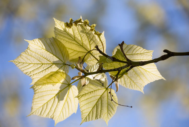 Acer tegmentosum lampasa Wschodnio-azjatycki klon zdjęcia stock