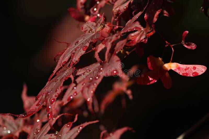 Acer vermelho bonito fotografia de stock