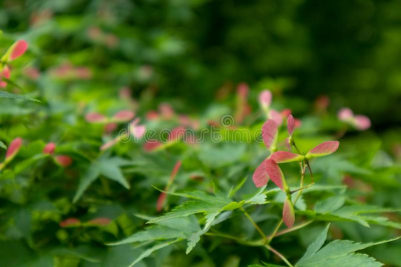 Samara-Acer palmatum Thunb. Is Aceraceae Acer, small deciduous tree crown umbrella. The bark is smooth. The bark is dark gray. Branchlets purple or purplish stock image